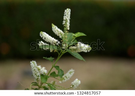 Buddleja paniculata The shrub has a single leaf, oval, cows, sharp, sharp edges, sharp teeth. The flowers are small, white. The base of the petals is connected together as a short tube, blooming.