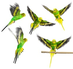 Budgerigar. Green yellow parrot on white background. Collection.