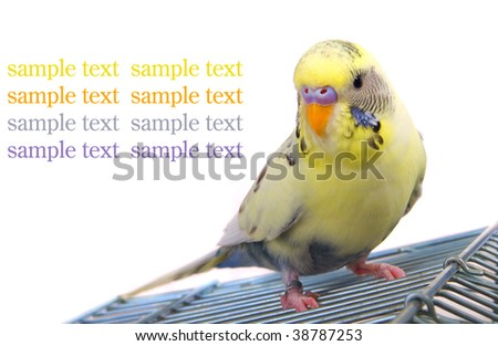 budgerigar on cage,with room for text, white background