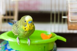 Budgerigar on the bird cage. Funny wet green budgie parrot takes a bath