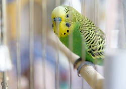 Budgerigar on the cage. Budgie parakeet in birdcage