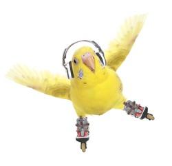 Budgerigar rollerskater in headphones isolated on white background