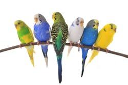 budgerigars australian parakeets isolated on white background