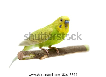 Budgie male on the white background
