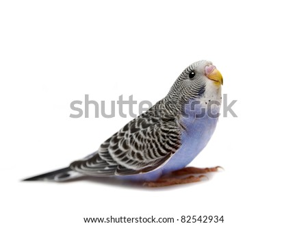 Budgie 1,5 mounths on the white background