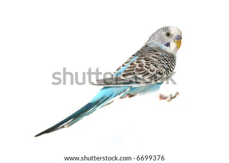 Budgie Parakeet Bird on White Background