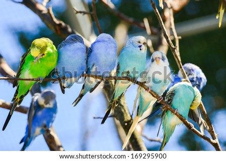 Budgie Parakeet Budgie Parakeet Birds on