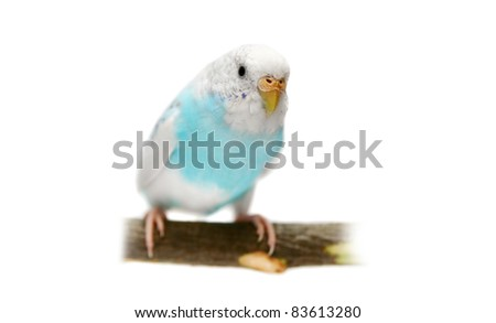 Budgie 3 years old on the white background