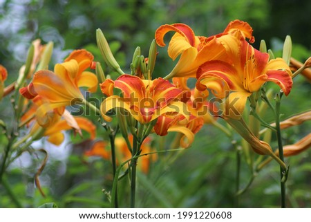 Buds and blooming yellow-orange flowers of the daylily Frans Hals. Stok fotoğraf ©