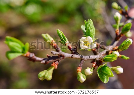 buds and flowers on a branch of a cherry plum, closeup, toning