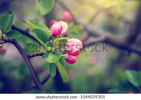 Buds of flowers on a branch in the spring, Apple tree.