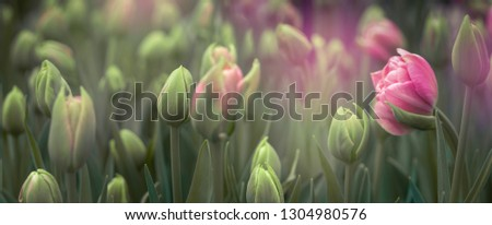 Buds of rose tulips with fresh green leaves at blur background with place for your text. Dutch tulip bloom in an orangery in spring season. Floral banner for a floristry shop.