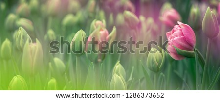 Buds of rose tulips with fresh green leaves in soft lights at blur background with place for your text. Hollands tulip bloom in an orangery in spring season. Floral banner for a floristry shop. #1286373652