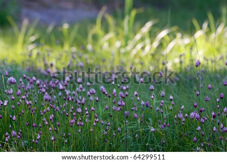Buds of wild chives flowers
