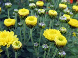 Buds of yellow chrysanthemum close up