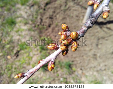 Buds on a branch of fruit tree in spring against the ground close up. Top view. #1085295125