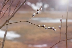 buds on a pussy willow in early spring, fluffy gray buds on a branch in March, pussy willow - a symbol of Easter and the resurrection of Christ