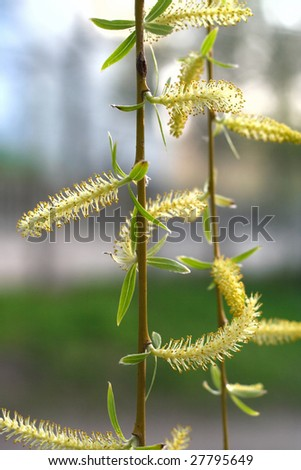buds on a willow close-up