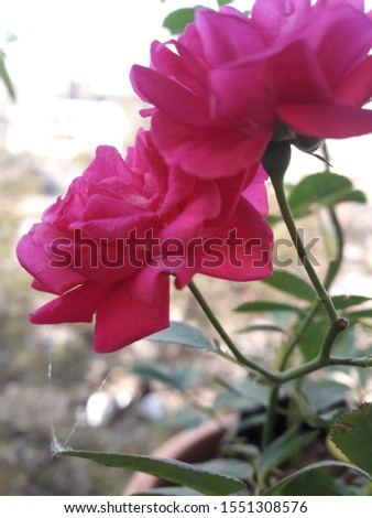 bueatyfull roses pink pic  at the morning