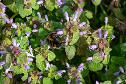 Buff tailed bumblebee, bombus terrestri, collecting nectar pollen from red dead nettle flowers in early spring
