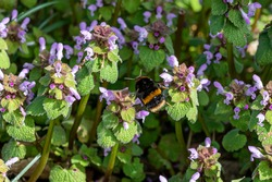 Buff tailed bumblebee collecting nectar pollen from red dead nettle flowers in early spring