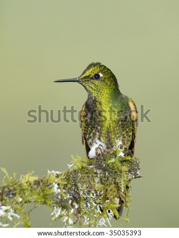 Buff-tailed Coronet hummingbird (Boissonneaua flavescens) perched on a mossy branch