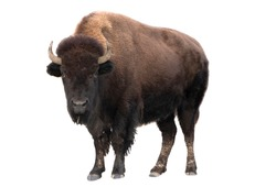 Buffalo American against a white background. Winter fur.