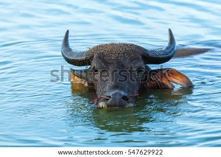 Buffalo ,Buffalo swimming.