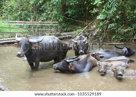 Buffalo bull standing in water #1035529189