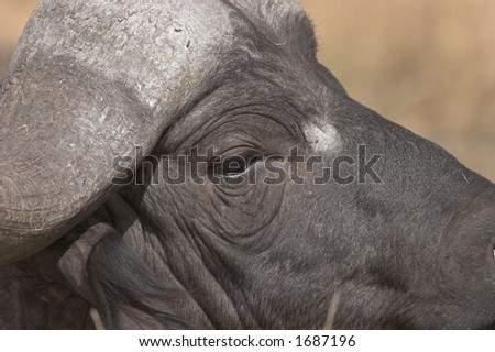 Buffalo, Cape, African, close-up, Syncerus caffer, big 5 and very dangerous
