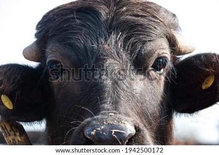 buffalo cow for production of buffalo mozzarella from Campania region in Italy