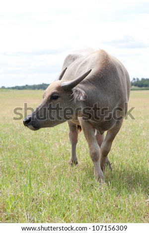 buffalo eating grass in wild field
