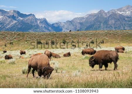 Buffalo Grazing - Yellowstone Bison - National Park Wyoming