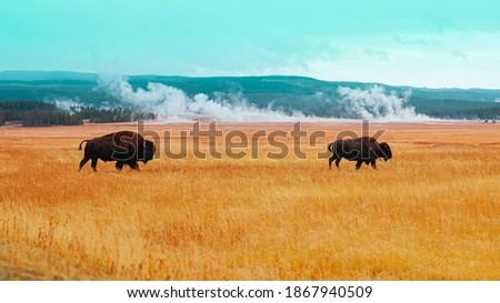 Buffalo Heard, Buffalo Calf, Yellowstone