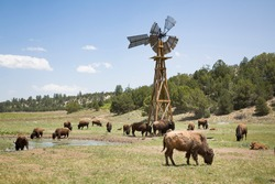 Buffalo herd, American bison on a farm in Utah, USA, with a wooden windmill