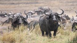 Buffalo, Herd of cape buffaloes near the waterhole. Serengeti, Tanzania, Africa
