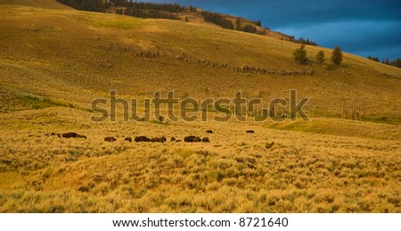 Buffalo herd.  Yellowstone landscape in the evening light