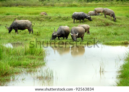 Buffalo herds grazing in marshy area in Thailand