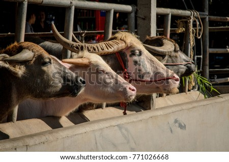 Buffalo in a livestock stall #771026668