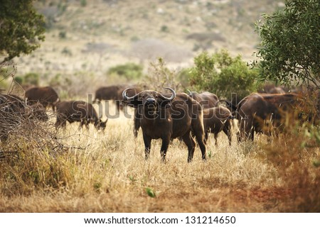 Buffalo in Amboseli National Park in Kenya 03