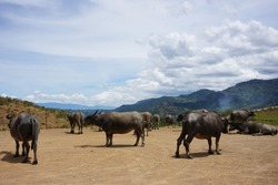 buffalo in high land with distinctive horns