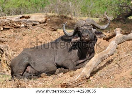buffalo in Kruger national park,South Africa