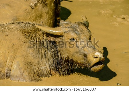 buffalo in mud, digital photo picture as a background