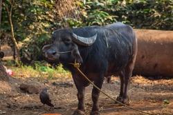 Buffalo in the Indian village in the yard. black Buffalo. Сountryside