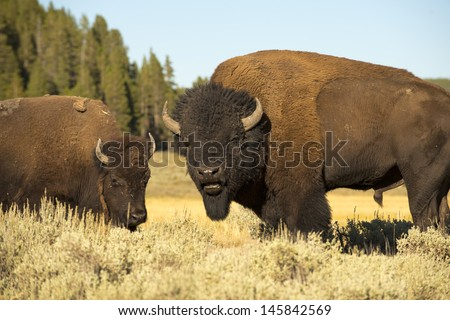 Buffalo in Yellowstone Lamar valley during summer time while looking at you