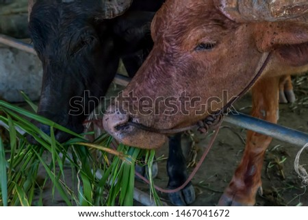 Buffalo is an animal with four legs, hooves the size of adult cattle at the age of 5-8 years, adult males weigh on average 520-560 kg females average about 360-440 pounds.