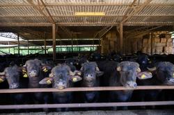 Buffalo mozzarella, ricotta, scamorza  cheese farm in Campania, Italy with livestock of black mediterranean Buffalo breeds
