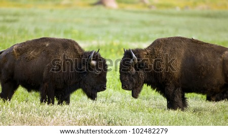 Buffalo on wildlife range outside Lawton, Oklahoma.