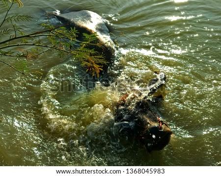 Buffalo, Refreshment of Water buffalo ,Buffalo swimming
