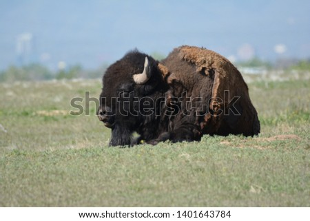 Buffalo relaxing on the plains #1401643784